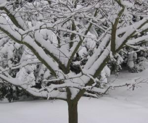 Snow plum2