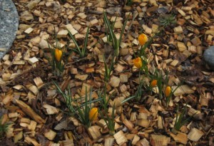 CrocusesEarly
