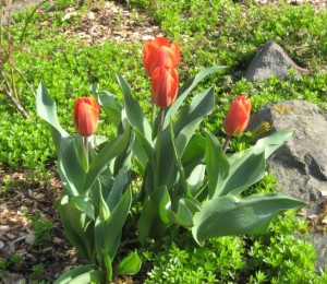 FirstTulips2